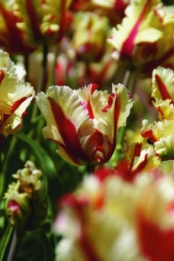 Tulp Flamming Parrot